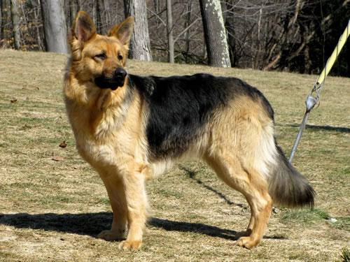 Quality Breeders of Large German Shepherds